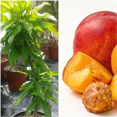 Planta de Frutal Nectarino Enano, Nectarina. 2 Años y en Producción