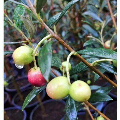 Planta de Frutal Olivo Arbequina, OLEA Europaea. Altura 60 - 80 Cm