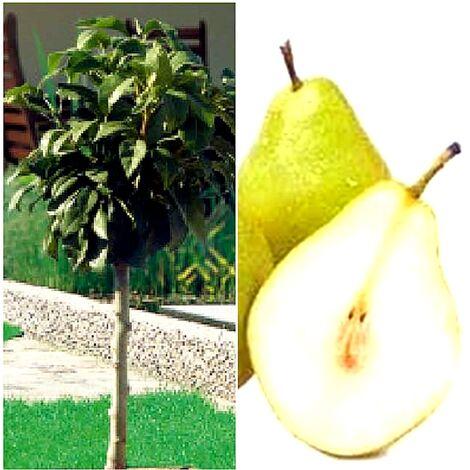 Planta de Frutal Peral Enano, 2 Años y en Producción de Fruta