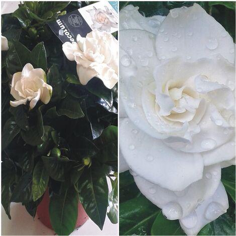 Planta de Gardenia Augusta. Altura 20 - 30 Cm
