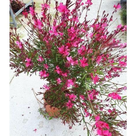 Planta de Gaura de Flor Roja. 25 - 30 Cm