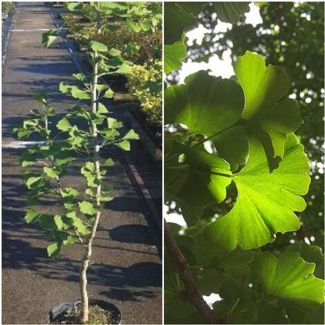 Planta de Ginkgo Biloba - Gingo. 60 Cm