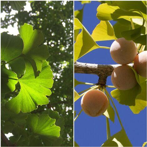 Planta de Ginkgo Biloba. Gingo. Arbol de los Cuarenta Escudos. Altura: 20 - 30 Cm