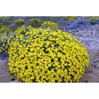 Planta de Helichrysum Stoechas - Siempreviva, Helicriso. Altura 10 - 20 Cm