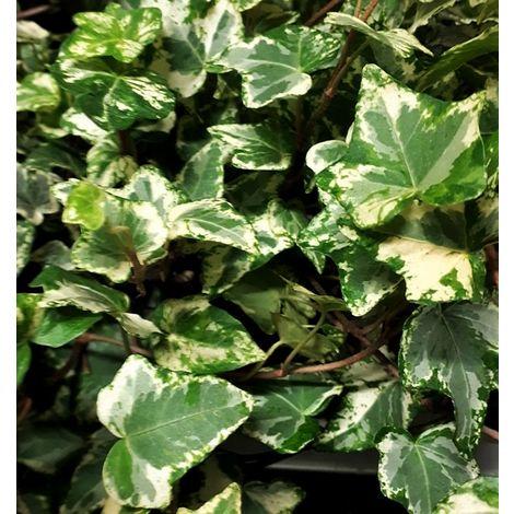 Planta de Hiedra Hedera Harlequin. 60 - 80 Cm.