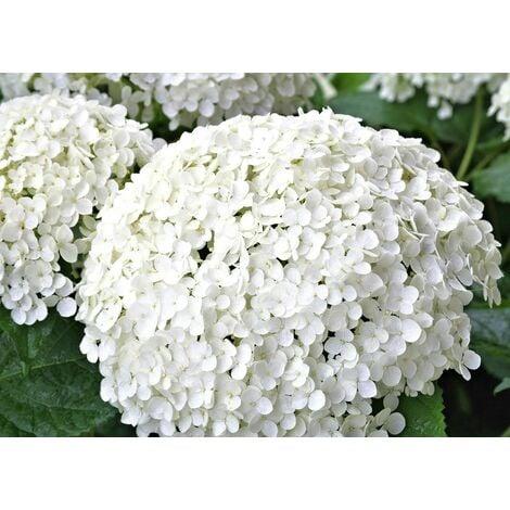 Planta de Hortensia Flor Blanca. Hydrangea en Maceta de 1,5 L