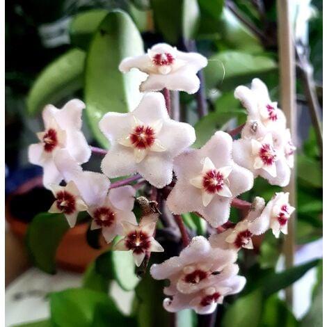 Planta de Hoya Carnosa. Flor de Cera. 30 - 40 Cm