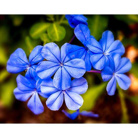 Planta de Jazmin Azul. Plumbago Capensis. 100 - 120 Cm