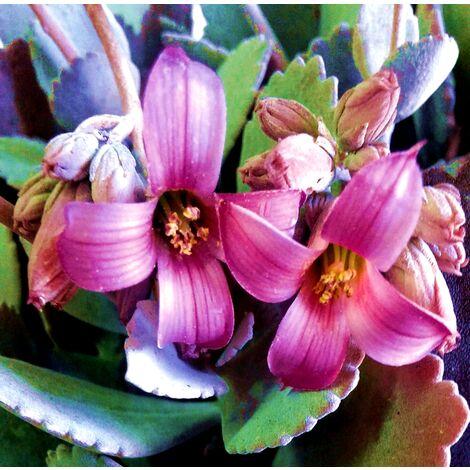 Planta de Kalanchoe Pumilla de Flor Rosa en Maceta