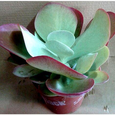 Planta de Kalanchoe Thyrsiflora RED Green. 20 - 25 Cm