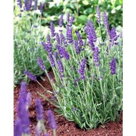 Planta de Lavandula Angustifolia - Espliego. Altura 20 - 30 Cm