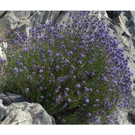 Planta de Lavandula Latifolia