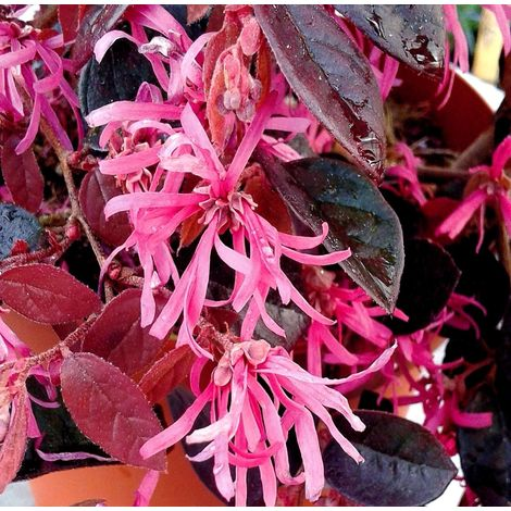 Planta de Loropétalo. Loropetalum Chinense. Altura Planta 20 - 30 Cm.