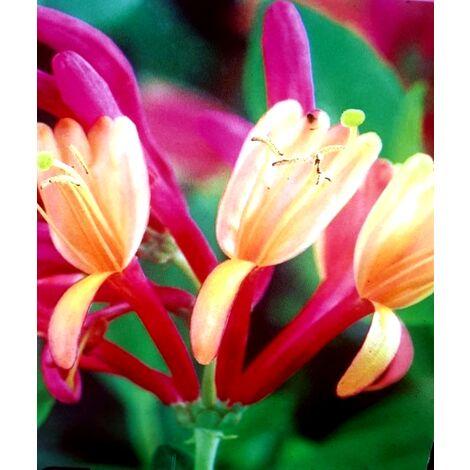 Planta de Madreselva Lonicera Bicolor. 80 - 100 Cm
