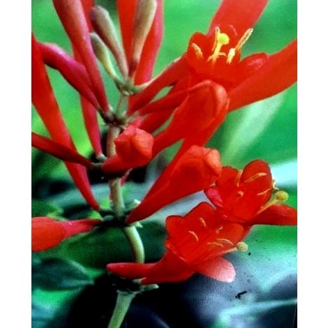 Planta de Madreselva Lonicera Roja. 30 - 40 Cm