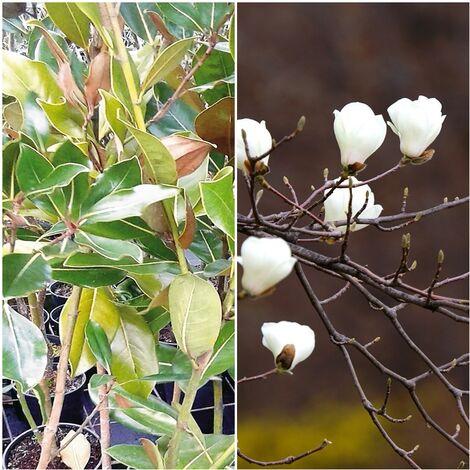 Planta de Magnolia Grandiflora. Flor Blanca Perfumada. 120 Cm