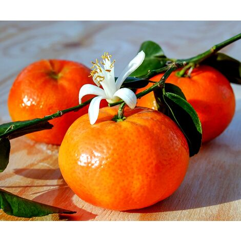 Planta de Naranjo Clementina, Naranja Fácil de Pelar. 110 Cm