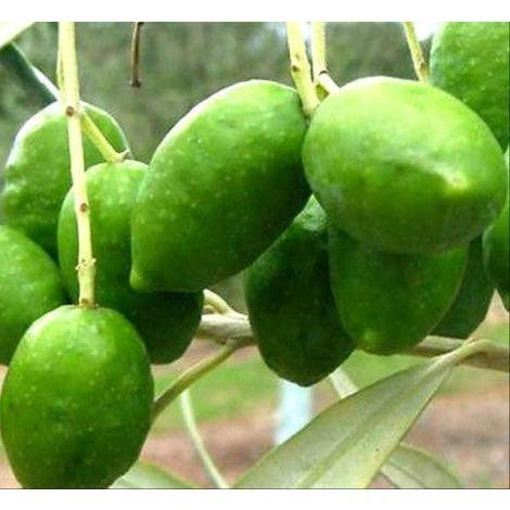 Planta de Olivo. Variedad PICUAL. Altura 80 – 100 Cm