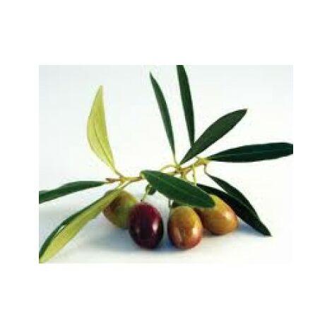 Planta de Olivo. Variedad Picual. Altura 80 - 100 Cm Aproximado