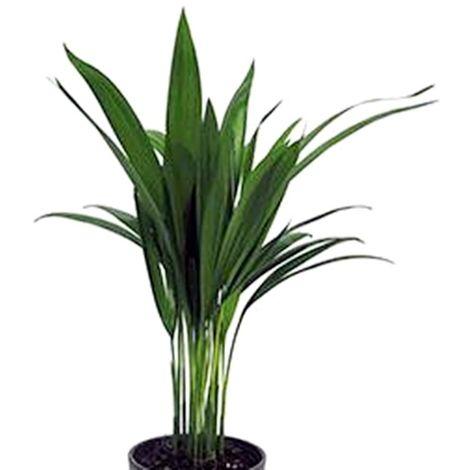 Planta de Palmera Areca. 30 - 40 Cm