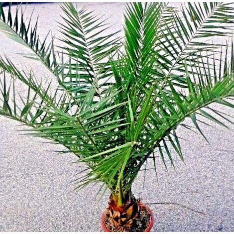 Planta de Palmera Canaria Phoenix Canariensis. Altura Planta 120/130 Cm