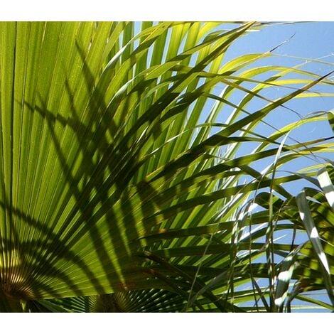 Planta de Palmera Chamaerops Humilis. Palmito