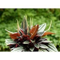Planta de Peperomia Rosso. Bonito Tonalidad de sus Hojas