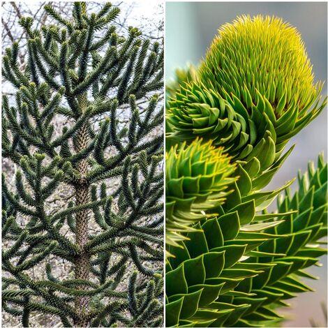 Planta de Pino Chileno. Araucaria Araucana. 80 - 90 Cm