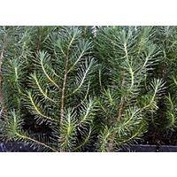 Planta de Pinus Pinea, Pino Piñonero