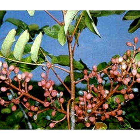 Planta de Pistacia Therebinthus, Cornicabra