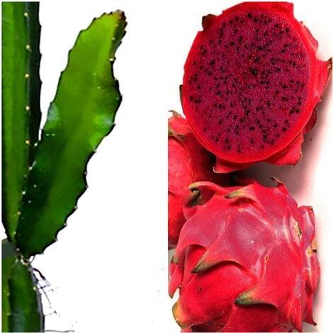 Planta de Pitahaya, de Fruto Rojo. 120 Cm