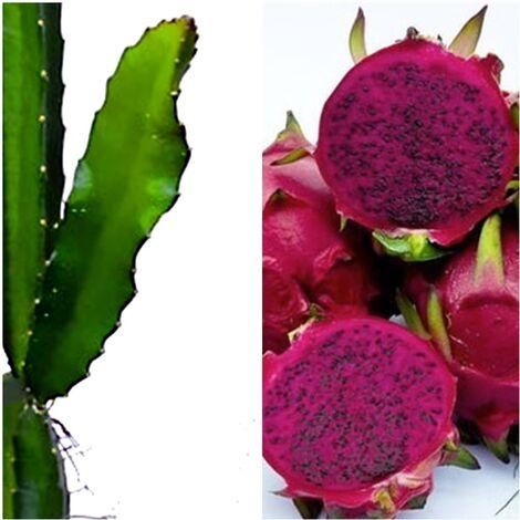 Planta de Pitahaya Fruto Rosado. 120 Cm
