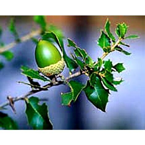 Planta de Quercus Faginea Quejigo. Roble Carrasqueño