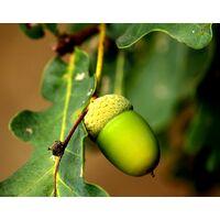 Planta de Quercus Pyrenaica, Melojo