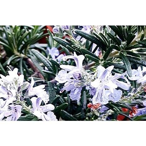 Planta de Romero Rastrero Rosmarinus Postratus