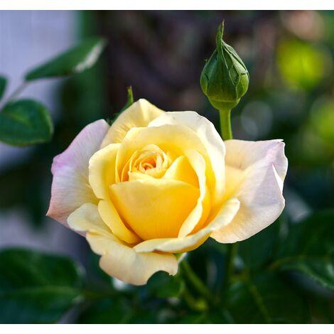 Planta de Rosal Amarillo en Maceta. Altura Planta 40 - 50 Cm