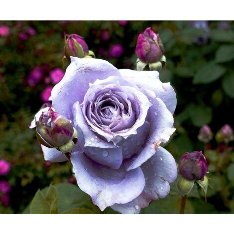 Planta de Rosal Malva / Azulado. Rosa Azul. en Maceta de 2,5 L
