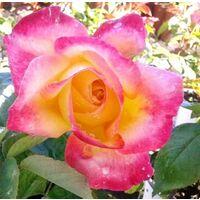 Planta de Rosal Rosa Bicolor Hippy en Maceta. Altura 40 - 50 Cm