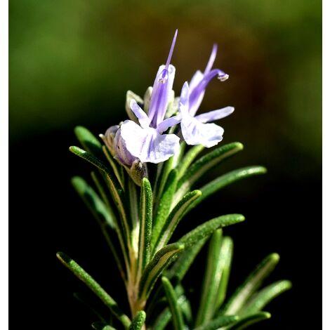 Planta de Rosmarinus Oficcinalis. Romero