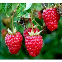 Planta de Rubus Tayberry. Mora + Frambuesa. 25 - 30 Cm