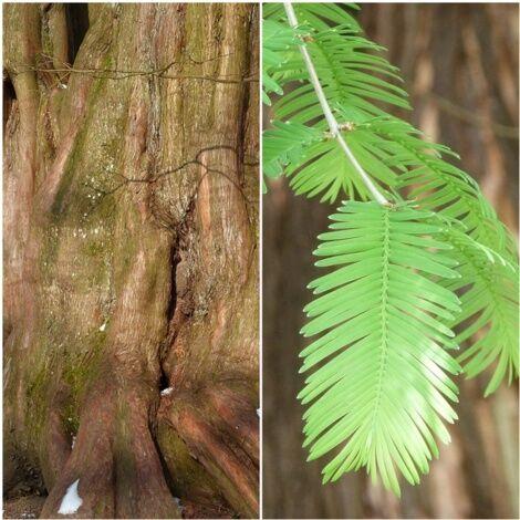 Planta de Secuoya Gigante, Sequoiadendron Giganteum