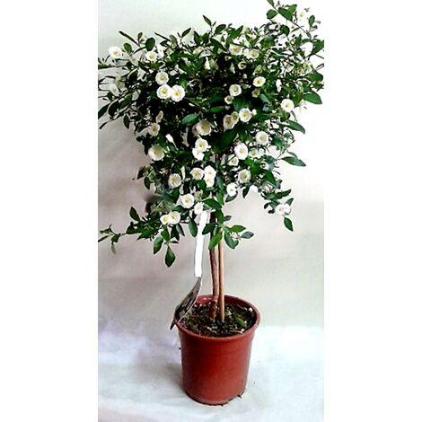 Planta de Solanum en Copa. Flor Blanca. 40 - 50 Cm