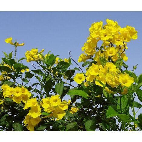 Planta de Tecoma Capensis. Tecomaria Amarilla. Bignonia. 100 - 120 Cm