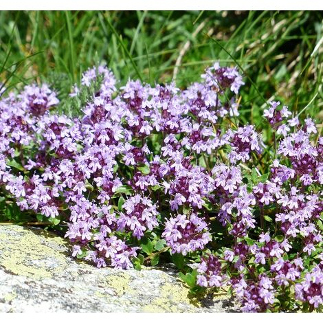 Planta de Thymus Vulgaris - Tomillo Común. Altura 30 - 40 Cm