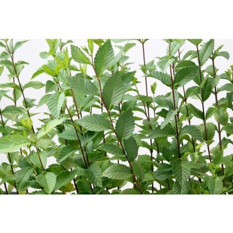 Planta de Ulmus Minor - Olmo Común