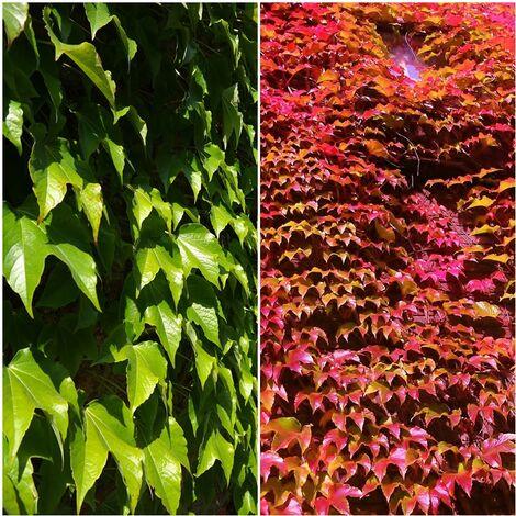 Planta de Viña Trepadora. Hiedra Japonesa. Parthenocissus Tricuspidata