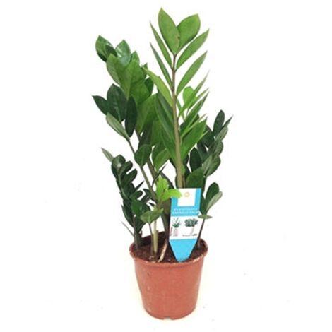 Planta de Zamioculcas. Planta del Dinero. en Maceta M15