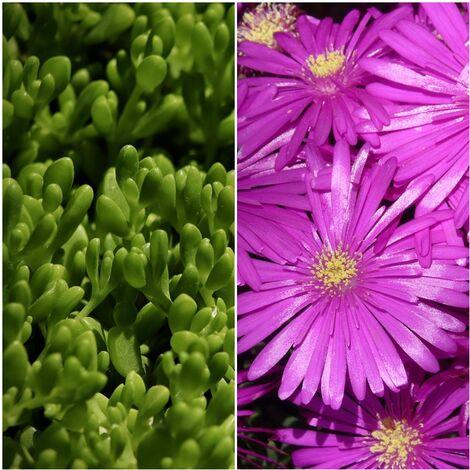 Planta Delosperma. Uñas de Gato. Flor Fucsia