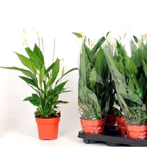 Planta Espatifilo Spathiphyllum. 15 - 20 Cm. Purificador del Aire en el Hogar