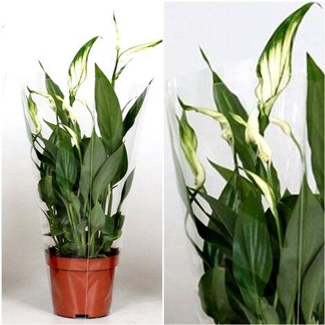 Planta Espatifilo Spathiphyllum. 40 - 50 Cm. Purificador del Aire en el Hogar